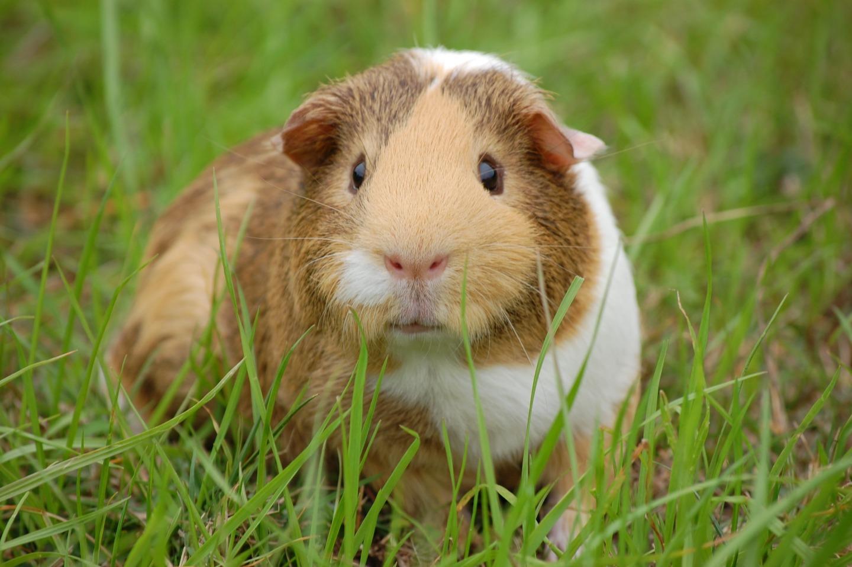 guinea-pig-242520
